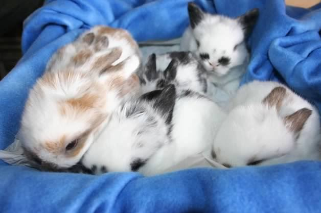 oh so cute holland lop babies