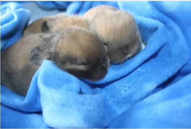 cute baby holland lops for sale