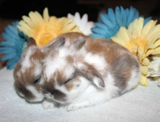 cute holland lop babies with flowers
