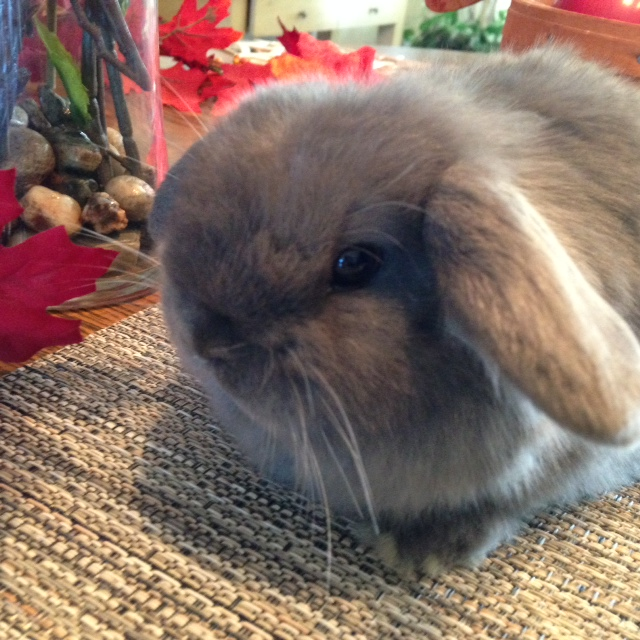 blue holland lop baby for sale