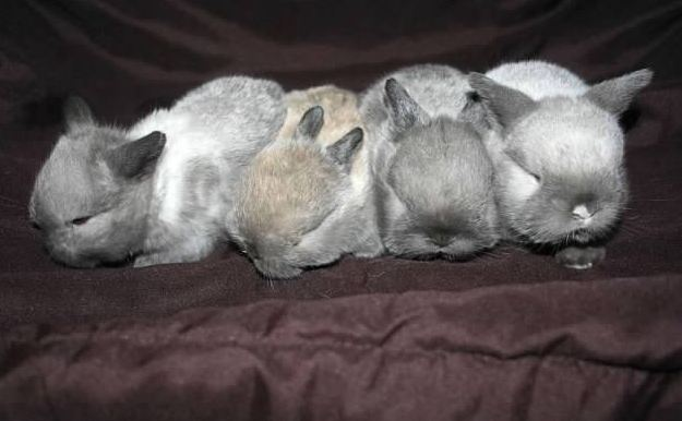 cute baby bunny holland lops in a row