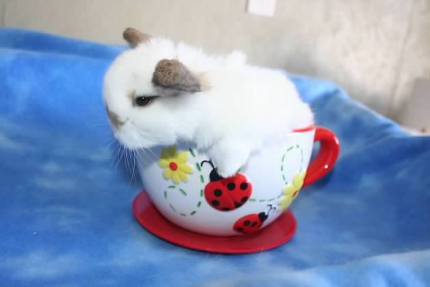 cute holland lop baby bunny