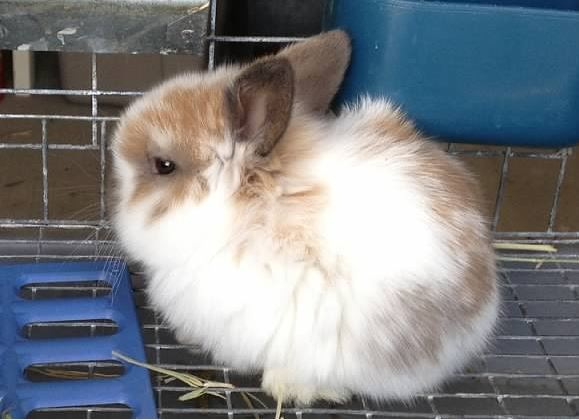 cute holland lop baby bunny fluffy