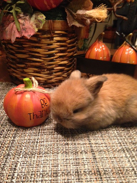 tiny baby holland lop in Tracy California