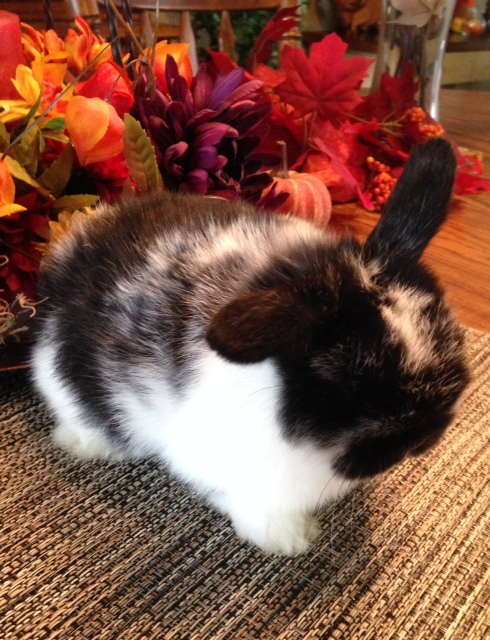holland lop baby for sale