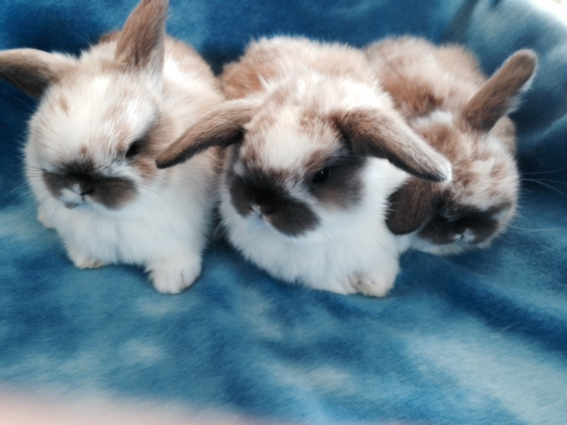 baby holland lop pets for sale in Tracy