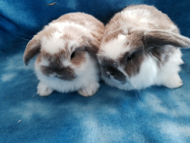 baby holland lops available in Tracy Ca