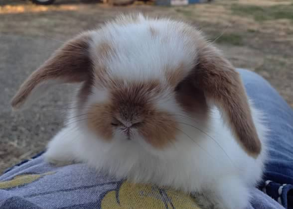 cute holland lop baby for sale in Tracy CA