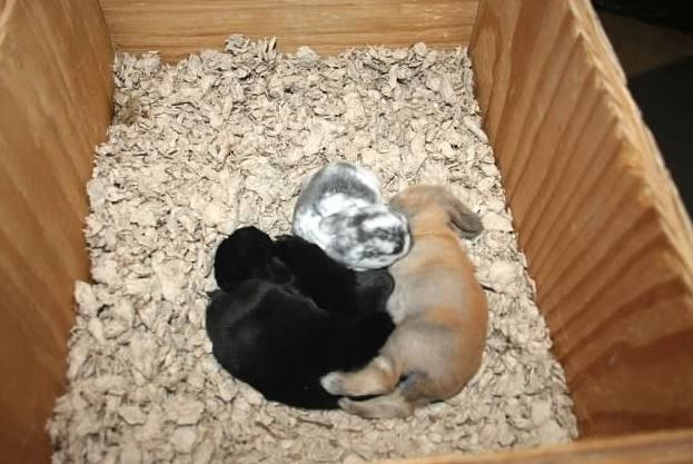 sweet baby holland lop bunnies for pets
